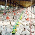 Куры в условиях птицефермы