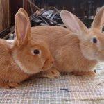 Кролик, незараженный кокцидиозом