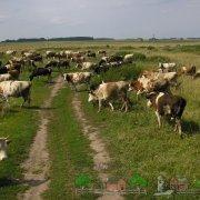 Кетоз у коров: симптомы заболевания и его лечение