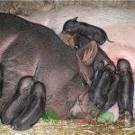 Свиноматки с новорожденными поросятами