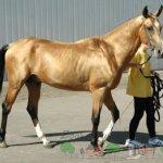 Лошадка гуляет со своим хозяином