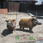 Две свинки в загоне