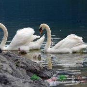 Лебедь шипун: интересные факты о птице, видео и фото обзор