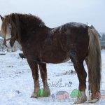 Тяжеловозный конь на снегу