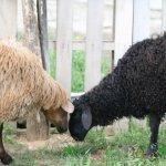 Пара эдильбаевских овец на выгуле