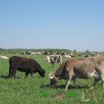 Коровы костромской породы на пастбище