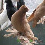Птицы окраса белоснежный, жук (черный) и тасман