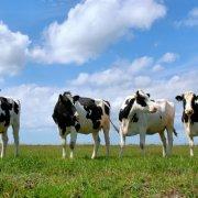 Мастит у коровы: как определить и лечить заболевание