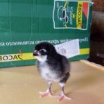Цыпленок юрловской породы