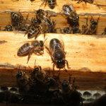 Пчёлы на рамке в термокамере