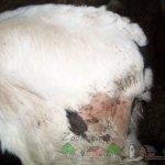 Пораженный участок бедра у теленка