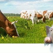 Ответы специалиста читателям-животноводам: проблемы коров, кроликов и свиньи