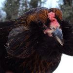 Голова птицы породы араукана