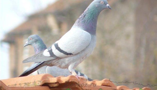 Кавминводские головатые щекатые – красивые и дикие иранские голуби 262