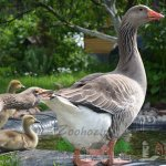 Гусиная семья с потомством