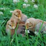 Суточные цыплята билефельдер