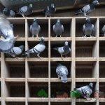 Спортивно-высоколетные питомцы птичника