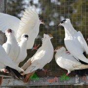 Как построить голубятни для голубей своими руками: фото и видео