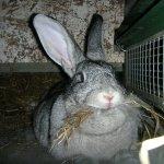 Серый кролик жует сено