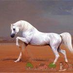 Белый арабский скакун