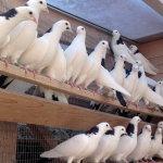 Стая бакинских в птичнике