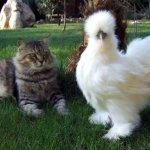 Китайская курица рядом с котом