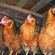Клетка для перепелов: уточняем нюансы яйцесборника
