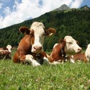Самая большая корова в мире: ее обзор, видео и фото