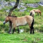 Кобылы Пржевальского на зеленом пастбище