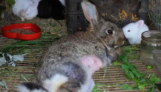 Симптомы и лечение болезней кроликов: какие опасны для человека, профилактика и описание заболеваний - Страница 3 из 3