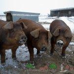 Несколько свинок на зимней прогулке