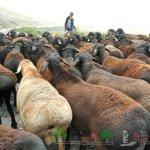 Стадо гиссарских овец на выпасе