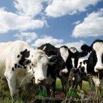 Голландские коровы крупным планом