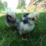 Цыплята голландские белохохлые на траве