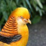 Золотой фазан с желтой грудкой