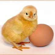 Процесс высиживания цыплят: можно ли доложить яйца