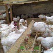 Рассматриваем причины падения цыплят-бройлеров на ноги