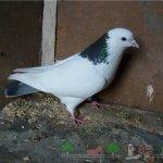 Бакинская шейка в голубятне