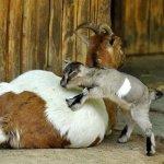 Камерунская коза с малышом