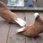 Покровские мазаные голуби