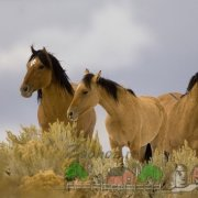 Кладрубская порода и Шайр - лошади для современной красивой упряжки, обзор с фото