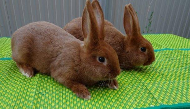 Симптомы и лечение болезней кроликов: какие опасны для человека, профилактика и описание заболеваний - Страница 2 из 3