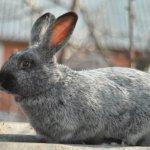 Кролик породы Серебристый крупным планом
