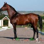 Арабский конь типа хадбан
