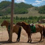 Две монгольские лошадки на привязи