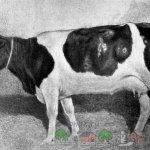 Лишай у взрослой коровы