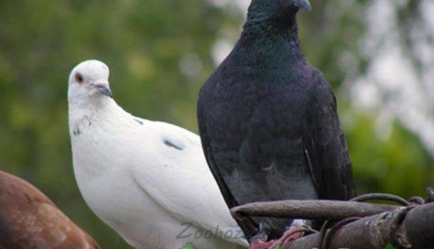Кавминводские головатые щекатые – красивые и дикие иранские голуби 985