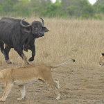 Молодой самец и хищники