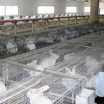 Одиночное содержание кроликов на крупной ферме