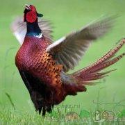 Разведение фазанов как бизнес в фермерском хозяйстве